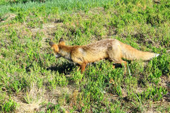 Hunting fox Stock Images
