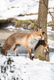 Hunting fox Royalty Free Stock Image