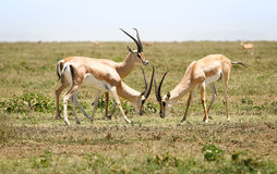 Hunting gazelles Royalty Free Stock Images