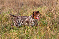Hunting German shorthaired pointer Royalty Free Stock Images