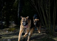 Hunting Germany Shepherds. Two Alsatian dogs that are hunting each other in the forest Stock Images