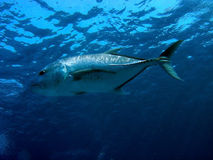 Hunting Giant Trevally. Giant Trevally (Caranx ignobilis) hunting at surface Stock Photo