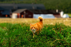Hunting ginger cat Stock Photos
