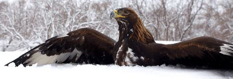 Hunting of a golden eagle Royalty Free Stock Photography