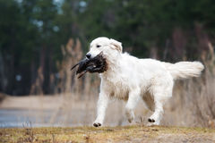 Hunting golden retriever dog carrying a duck Stock Photo