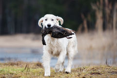 Hunting golden retriever dog carrying a duck Stock Photography