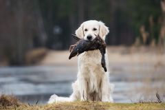 Hunting golden retriever dog carrying a duck Royalty Free Stock Photos