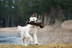 Hunting golden retriever dog carrying a pheasant Stock Image