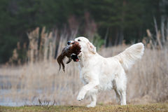 Hunting golden retriever dog carrying a pheasant Stock Photography
