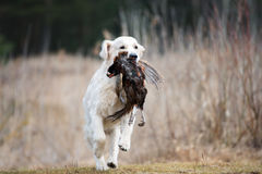 Hunting golden retriever dog carrying a pheasant Royalty Free Stock Photography