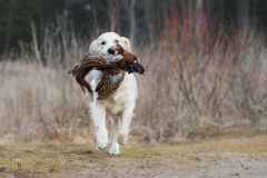 Hunting golden retriever dog carrying a pheasant Royalty Free Stock Image