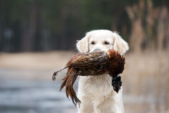 Hunting golden retriever dog carrying a pheasant Royalty Free Stock Images