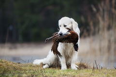 Hunting golden retriever dog carrying a pheasant Stock Photo