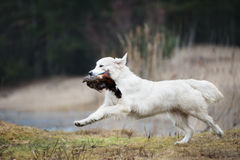 Hunting golden retriever dog carrying a pheasant. Hunting golden retriever dog carrying game royalty free stock photos