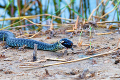 Hunting grass snake has caught fish Royalty Free Stock Image
