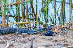 Hunting grass snake has caught fish Stock Image