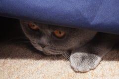 Hunting gray british cat Stock Photo