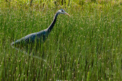 Hunting. Great Blue Heron (Ardea herodias) hunting in a swamp. Willamette Valley, Oregon Stock Photo