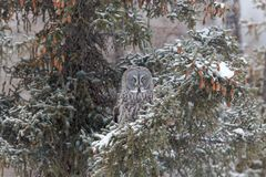 Hunting Great Grey Owl stock images