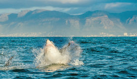 Hunting of a Great White Shark  Carcharodon carcharias. Great White Shark Carcharodon carcharias breaching in an attack. Hunting of a Great White Shark Royalty Free Stock Photos