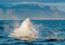 Hunting of a Great White Shark Carcharodon carcharias Stock Photo
