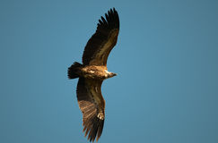 Hunting griffon Royalty Free Stock Photography