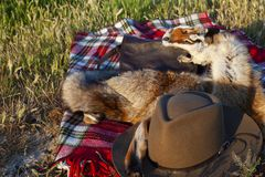 Hunting hat, bag and leather of stuffed foxes. Hunting bag, hat and skin from the prepared fox placed on a blanket on a green grass stock image