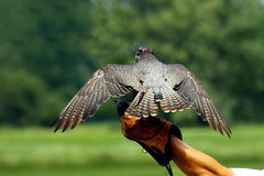 Hunting hawk. Falcon,a trained bird of prey Royalty Free Stock Photography