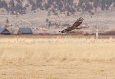 Hunting Hawk Royalty Free Stock Photography