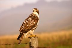 Hunting Hawk Royalty Free Stock Photos