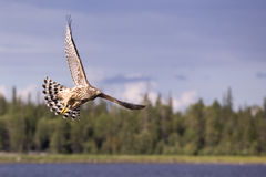 Hunting hawk Royalty Free Stock Photo