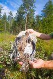 Hunting hazel grouse bird Stock Photo