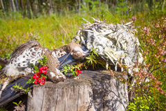 Hunting hazel grouse bird Royalty Free Stock Images