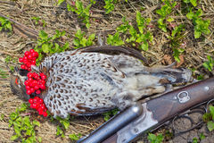 Hunting  a hazel grouse Royalty Free Stock Photos