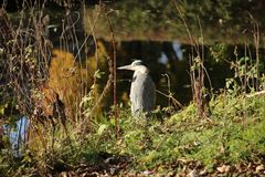 Hunting heron in the autumn season in public park Schakenbosch in Leidschendam. Hunting heron in the autumn season in public park Schakenbosch in Leidschendam royalty free stock image