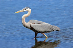 Hunting Heron Stock Photography