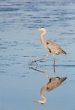 Hunting Heron Reflection Stock Images