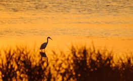 Hunting heron standing in the water at sunset. Silhouette of hunting heron standing in the water at sunset, Camargue, France Stock Photos