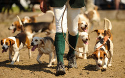 Hunting hounds Stock Images