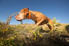 Hunting hungarian vizsla dog in field Royalty Free Stock Photo