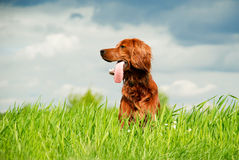 Hunting irish setter  Royalty Free Stock Image