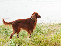Hunting irish setter standing in the grass. Stock Photography
