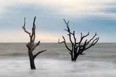 Hunting Island Skeleton Tree 3 Stock Photos