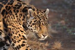 Hunting jaguar. A watchful south american jaguar Stock Photo