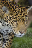 Hunting jaguar Royalty Free Stock Photos
