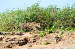 Hunting jaguar Royalty Free Stock Photo