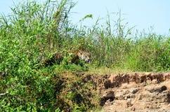 Hunting jaguar Stock Photo