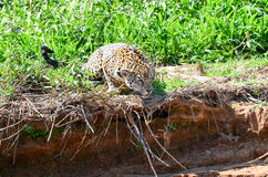 Hunting jaguar Royalty Free Stock Images