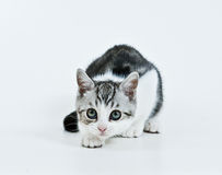 Hunting kitten. Kitten like to play and want catch his toy royalty free stock photo