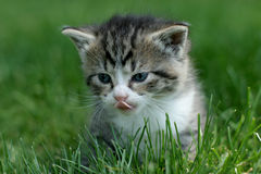 Free Hunting Kitty Royalty Free Stock Photos - 2594738